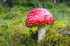 Гриб пластинчатого гриба мухы на зеленой траве Стоковая Фотография