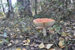 Гриб пластинчатого гриба мухы осени Стоковая Фотография