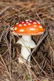 Гриб пластинчатого гриба мухы растя в лесе Стоковая Фотография RF