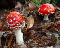 Гриб пластинчатого гриба мухы ядовитый Стоковое Фото