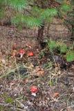 Гриб пластинчатого гриба мухы ядовитый Стоковые Фотографии RF