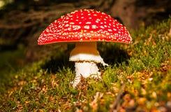 Гриб пластинчатого гриба мухы Стоковое Изображение