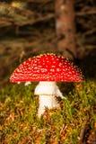 Гриб пластинчатого гриба мухы Стоковые Изображения RF
