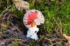 Гриб пластинчатого гриба мухы Стоковая Фотография