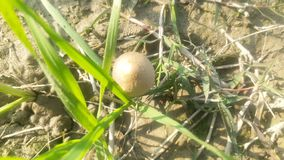 Гриб растя в пшеничном поле стоковое изображение