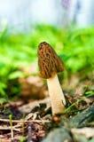 гриб сморчка Стоковая Фотография