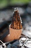 гриб сморчка Стоковые Изображения RF