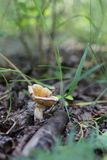Гриб среди растительности подлеска на поле леса стоковое изображение rf