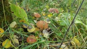 гриб луга Стоковое Изображение