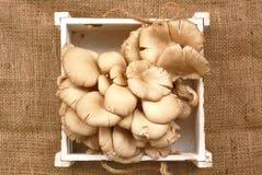 Гриб устрицы в коробке на белой предпосылке Стоковая Фотография
