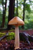 Гриб утра в сосновом лесе Стоковое Изображение RF