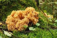 Гриб цветной капусты в лесе Стоковое Фото