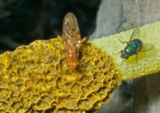 гриб 13 мух Стоковая Фотография