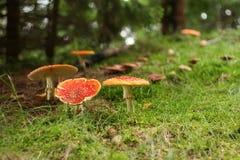 гриб amanita ядовитый Стоковые Фото