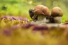 Гриб Aurantiacum лекцинума Стоковая Фотография RF
