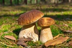 Гриб CEP 2 гриба в мхе в лесе Стоковые Изображения RF