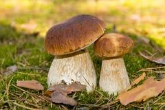 Гриб CEP 2 гриба в мхе в лесе Стоковое Изображение