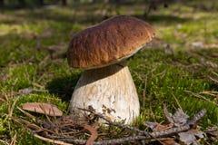 Гриб CEP Грибы в мхе в лесе Стоковые Фото