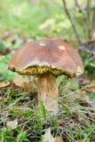 гриб cep Стоковое Фото