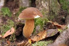 гриб cepe Стоковые Изображения RF