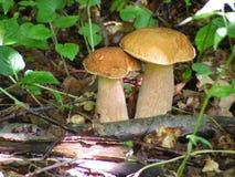Гриб 2 cepes растя в лесе лета Стоковое Изображение