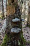 Гриб Chaga, который выросли на сломленном дереве в лесе стоковые фотографии rf