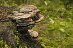 Гриб Chaga на дереве Стоковые Изображения