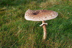 гриб comestible стоковое изображение rf