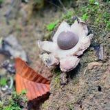 Гриб fimbriatum Geastrum Стоковое фото RF