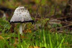Гриб, inkcap или shaggy грива, comatus чернильного гриба, между травой и листьями в осени Стоковые Изображения RF
