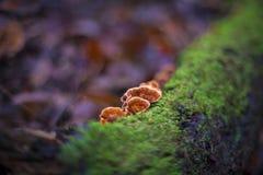 Гриб Lingzhi или гриб reishi Стоковые Изображения