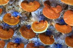 Гриб lucidum Ganoderma Стоковое фото RF