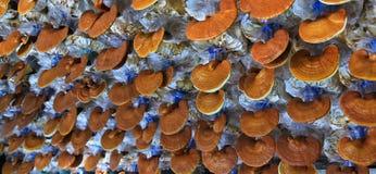 Гриб lucidum Ganoderma Стоковая Фотография