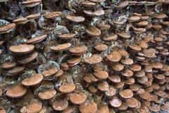 Гриб lucidum Ganoderma Стоковое Фото