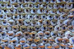 Гриб lucidum Ganoderma Стоковое Изображение RF