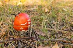 Гриб Muscaria мухомора в лесе осени Стоковое Фото