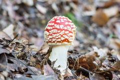 Гриб Muscaria мухомора пластинчатого гриба мухы или мухомора мухы Молодой ядовитый грибок, красный с белыми пятнами, в своей есте Стоковая Фотография