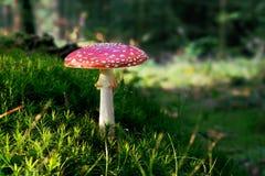 Гриб muscaria мухомора пластинчатого гриба мухы ядовитый в лесе Стоковые Изображения