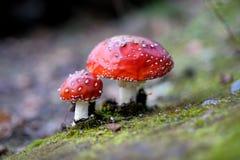 гриб muscaria мухы amanita agaric Стоковая Фотография