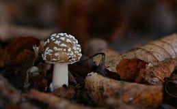 гриб muscaria опасности осени amanita Пластинчатый гриб мухы brougham стоковое изображение