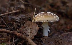 гриб muscaria опасности осени amanita Пластинчатый гриб мухы brougham стоковые фотографии rf