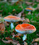 гриб muscaria опасности осени amanita Стоковое Фото