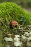 гриб muscaria опасности осени amanita Стоковая Фотография RF