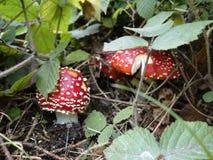 гриб muscaria опасности осени amanita Стоковое фото RF