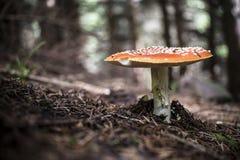 гриб muscaria опасности осени amanita стоковые изображения