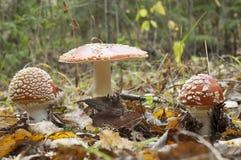 гриб muscaria amanita Стоковые Изображения
