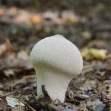 Гриб perlatum Lycoperdon Стоковая Фотография