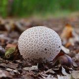 Гриб perlatum Lycoperdon Стоковое фото RF
