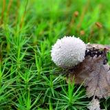 Гриб perlatum Lycoperdon Стоковая Фотография RF