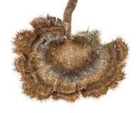 Гриб Pinecone Стоковые Изображения RF